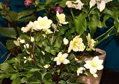 """Nieswurz - Die Helleborus niger ist sehr beliebt, da sie zur Mitte des Winters, sogar im Schnee, blüht. Die immergrünen Blätter bilden ca 30 bis 40 cm hohe Hügel. Sie benötigt eine gleichmäßige Feuchtigkeit.  Die aus der Türkei, Griechenland und dem Kaukasus stammende Helleborus orientalis wird etwa 60 cm breit und hoch und ist ebenfalls winterhart, blüht im Wimter und beginnenden Frühjahr. Das verwelkende Blattwerk kann vor der Blüte beschnitten werden. (Quelle: """"Botanica"""" Das Abc der Pflanzen)"""