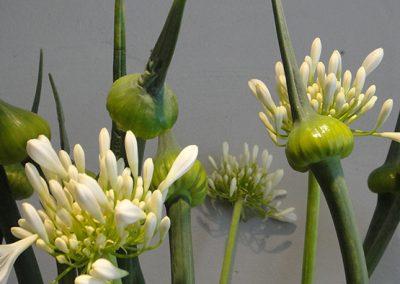 """In der Gattung Allium gibt es viele Arten, die schöne Zierpflanzen sind. Einige finden aber auch als Lebensmittel Verwendung: Zwiebel (Allium cepa), Winterzwiebel (Allium fistulosum), Knoblauch (Allium sativum), Schalotte (Allium ascalonicum), Schnittlauch (Allium schoenoprasum), Porree (Allium ampeloprasum). Wild wachsend, heutzutage auch oft in der Küche genutzt, ist der Bärlauch (Allium ursinum). (Quelle: Wikipedia)  Die ursprünglich im südlichen Afrika beheimatete Staude """"Agapanthus"""" ist vor allem wegen der attraktiven Blätter und doldenartigen Blüten sehr beliebt. Als ideale Hintergrundpflanze eignet sie sich auch für die Platzierung vor Wänden und Zäunen. Vor dem ersten Frost sollte sie ausgegraben, danach trocken und kühl gelagert werden. Angebracht ist eine Pflanzung im Topf. (Quelle: Kreuzers Gartenpfanzen Lexikon)"""