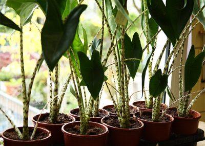 Alocasia zebrina (Pfeilblatt, Elefantenohr) - Die Gattung Alocasia umfasst ca. 90 Arten, von denen eine die Alcosia zebrina ist. Sie stammt ursprünglich von den Philippinen, gehört zu den Pfeilblättern und wird auch Elefantenohr genannt.  Sie bevorzugt feuchte sandig-lehmige Böden im Halbschatten. Die Raumtemperatur sollte wenigstens bei etwa 20° liegen. Da sie viel Wasser benötigt, sollte auch die Luftfeuchtigkeit hoch sein. Sie verträgt keinen Frost.