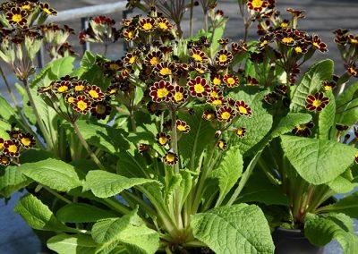 """Primula veris """"Little Queen"""" -  Die winterharte Gartenprimel (auch Schlüsselblume) hat eine lange Blühperiode, vom Frühjahr bis zum Juni. Sie bevorzugt einen Standort im Halbschatten und liebt einen gut durchlässigen Boden. Während der Blütezeit benötigen sie reichlich Wasser. Welke Blüten sollten regelmäßig entfernt werden.  Sie eignen sich sowohl als Bodendecker als auch zur Bepflanzung von Balkonkästen. Eine besondere Zuchtform ist die hier gezeigte """"Little Queen""""."""