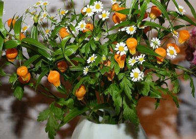 Die Sandersonia ist eine aus Südafrika stammende Kletterpflanze, welche im Sommer gelbe bis orangefarbene Blüten trägt. Ihre Triebe erreichen eine Länge von etwa 75 cm. Im Winter sollte sie trocken gehalten und gegen Frost geschützt werden. Während des Wachstums muss sie dagengen gedüngt und regelmäßig gegossen werden. Zur Ausbreitung benötigt sie eine Kletterhilfe. (Quelle: Botanica - Das ABC der Pflanzen, Könemann)