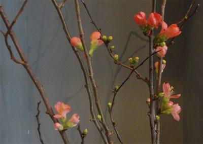 Zierquitte (Chaenomeles) -  Ihre feinen Blüten bilden sich an den noch kahlen Zweigen im Winter und halten sich bis in den Frühling. Schon früh wurde die Zierquitte in China und Japan als Schmuck in den Häusern verwendet, aber auch, um durch ihren Duft ein angenehmes Raumklima zu erhalten. Ebenso waren sie ein beliebtes Motiv in der dortigen Malerei. Aus den Arten, die etwa Ende des 18. bis Mitte des 19. Jahrhunderts nach Europa kamen, wurden mehr als 500 Sorten gezüchtet, deren Farben von weiß bis dunkelrot reichen. (Quelle: Ngoc Minh Ngo - Natur im Haus)
