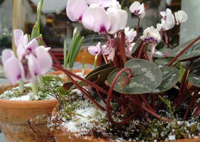 Winterstimmung mit Cyclamen